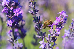 Lavendel blommar med biet i Frankrike Arkivbild