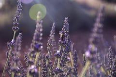 Lavendel blommar med ett bi på kronbladen Royaltyfria Foton
