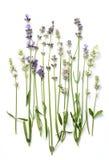 Lavendel blommar på en vit Arkivfoton
