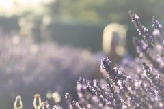 Lavendel blommar över en mjuk bakgrund Arkivbild