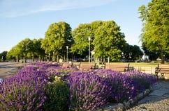 Lavendel blommor Arkivfoto