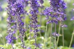 Lavendel-Blume Stockfotografie