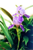 Lavendel-Blume lizenzfreie stockfotografie