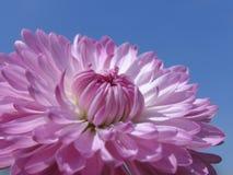 Lavendel-Blume Lizenzfreies Stockbild