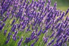 Lavendel-Blume Bush Stockfotografie