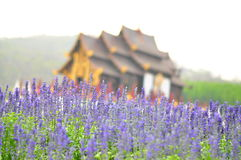 Lavendel-Blumen stockbild
