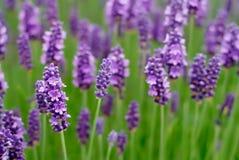 Lavendel-Blumen Lizenzfreie Stockfotos