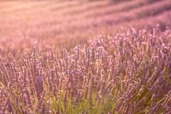 Lavendel-Blumen auf Sonnenuntergang, Nahaufnahme lizenzfreies stockbild