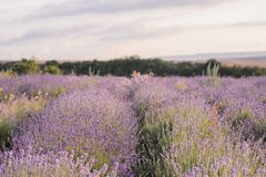Lavendel-Blumen-Blühen Purpurrotes Feld von Blumen Zarte Lavendelblumen lizenzfreies stockfoto