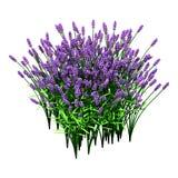 Lavendel-Blumen der Wiedergabe-3D auf Weiß Lizenzfreie Stockbilder