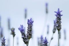 Lavendel-Blumen gegen den Himmel lizenzfreie stockfotografie