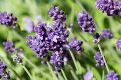 Lavendel-Blumenblätter schließen oben Stockbilder