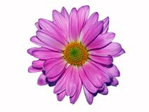Lavendel Daisy On White Lizenzfreie Stockfotografie