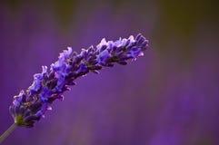 Lavendel-Dampf Stockfoto