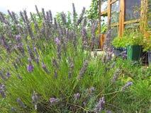 Lavendel in de bijen te brengen Royalty-vrije Stock Foto's