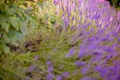 Lavendel De bloeiende purpere lavendel bloeit de gebieden van grasweiden avond Kunstfotografie royalty-vrije stock afbeelding