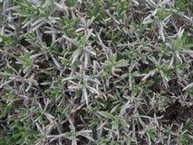 Lavendel in de Lente Stock Foto's