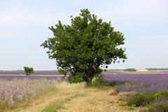 Lavendel in de Provence royalty-vrije stock fotografie