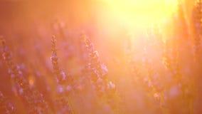 Lavendel in de Provence, Frankrijk stock video
