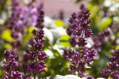 Lavendel in de tuin Royalty-vrije Stock Afbeeldingen