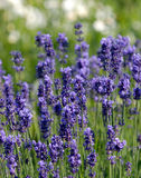 Lavendel in de tuin royalty-vrije stock foto