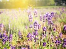 Lavendel in de zomer van Hokkaido wordt ingediend dat Royalty-vrije Stock Afbeelding