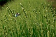 Lavendel, der auf dem Gebiet blüht Stockfotos
