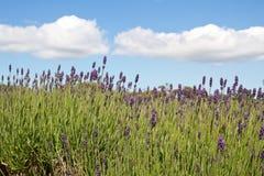 Lavendel, der auf den Kanalinseln, Großbritannien bewirtschaftet Stockfotos