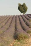 Lavendel, der auf einem Gebiet mit einem Herz-förmigen Baum wächst Stockbilder