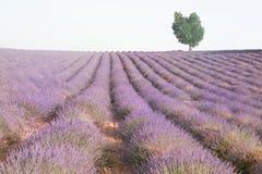 Lavendel, der auf einem Gebiet mit einem Herz-förmigen Baum wächst Stockfoto