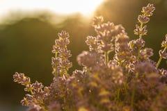 Lavendel in der Sonne Lizenzfreie Stockfotos