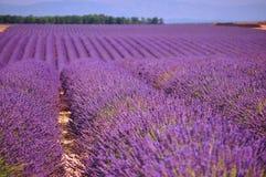 Lavendel in der Sonne Lizenzfreie Stockfotografie