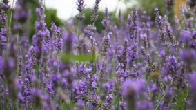 Lavendel die in de Wind blazen stock video