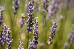 Lavendel en bij Stock Foto's