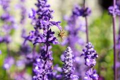 Lavendel en bij Stock Afbeeldingen