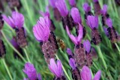 Lavendel en een bij Royalty-vrije Stock Afbeelding