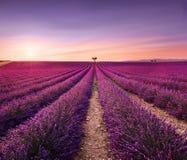 Lavendel en eenzame bomen bergopwaarts op zonsondergang De Provence, Frankrijk stock foto's