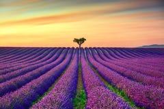 Lavendel en eenzame bomen bergopwaarts op zonsondergang De Provence, Frankrijk stock foto