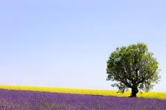 Lavendel en gele bloemen en een boom. De Provence Stock Fotografie