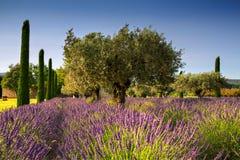 Lavendel en Olive Trees Stock Afbeeldingen