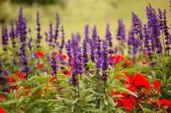 Lavendel en papaver Royalty-vrije Stock Afbeelding