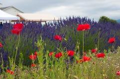 Lavendel en papavers Stock Afbeelding