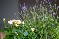 Lavendel en Roze Rozen Royalty-vrije Stock Afbeeldingen