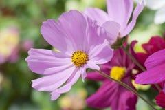 Lavendel en Violet Daisies Basking in de Zon royalty-vrije stock foto's