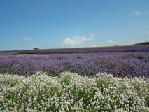 Lavendel en wolken Royalty-vrije Stock Foto's