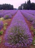 Lavendel fält av Oregon Arkivbilder
