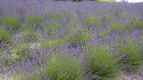 Lavendel fält på Eden Project i Cornwall Royaltyfri Bild