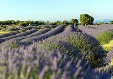 Lavendel fängt Sommersonnenunterganglandschaft nahe Baum in Kuyucak, ist auf stockfoto