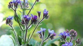 Lavendel färgade blommor arkivfilmer
