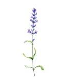 Lavendel för flygillustration för näbb dekorativ bild dess paper stycksvalavattenfärg Royaltyfri Foto